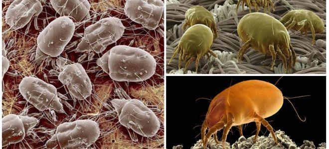 Description and photos of dust mites