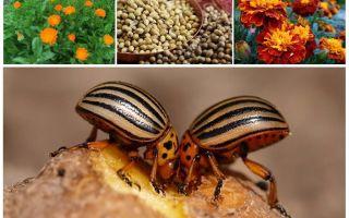 Folk remedies for the Colorado potato beetle on potatoes