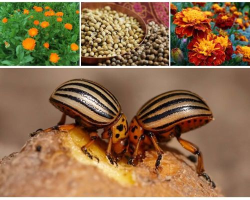 Folk remedies for the Colorado potato beetle on potatoes