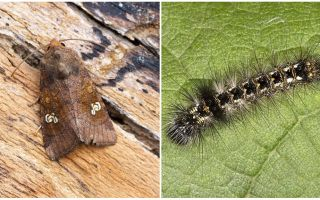 Description and photo of butterflies and caterpillars scoops how to fight