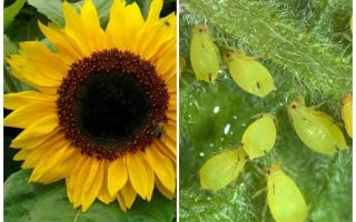 How to deal with aphids on sunflower