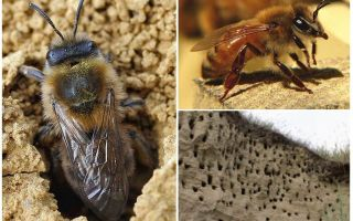 How to remove earth bees from the site