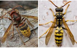 Description and photos of hornets
