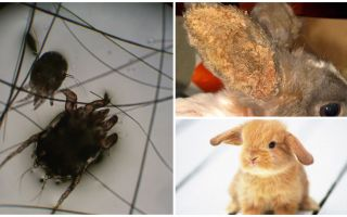Treatment of ear mite in rabbits