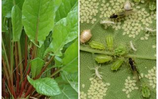 How to get rid of aphids on sorrel