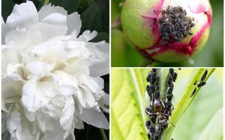 How to get rid of aphids on peonies