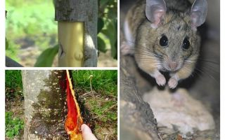How to save the apple tree, if the bark nabbed mice