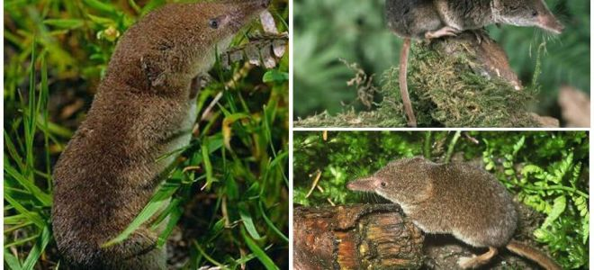 How to get rid of shrews in the area, the most effective way