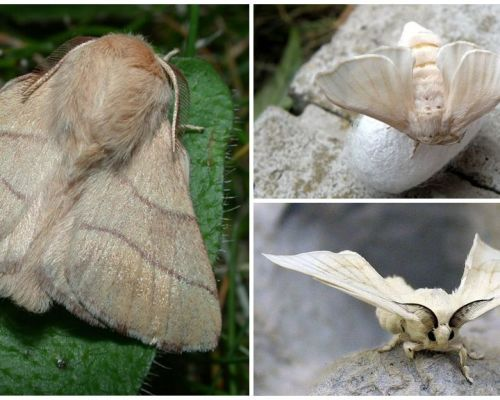 Description and photo of caterpillar and silkworm butterfly