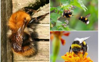 How to remove bumblebees from home