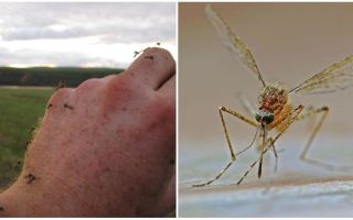 In which countries and cities there are no mosquitoes