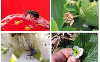 Strawberry weevil