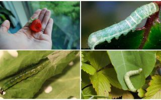How to get rid of caterpillars on strawberries