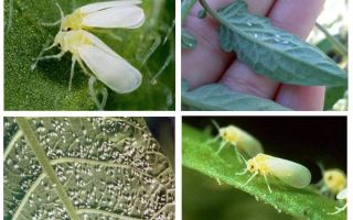 How to deal with the whitefly in the greenhouse