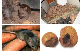 How to get mice out of the cellar