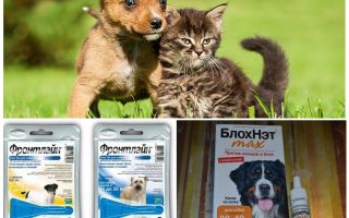 How and how to protect a dog from mosquitoes and blackflies
