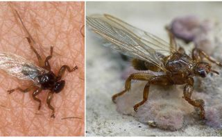 What is dangerous elk fly
