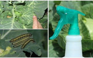 How to get rid of butterflies and cabbage caterpillars
