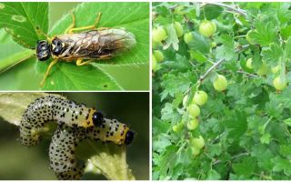 How to process gooseberries from caterpillars