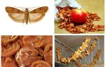 What to do if mole starts up in dried apples