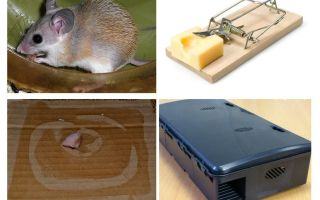 How to remove mice from a private house