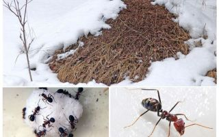 What do ants do in winter