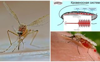 Interesting facts about the structure of mosquitoes