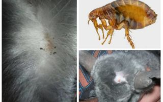 What to do if a chinchilla has a flea