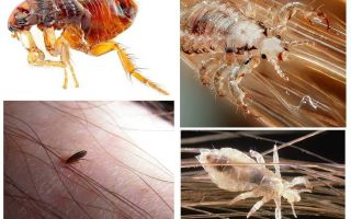What is the difference between lice and fleas?