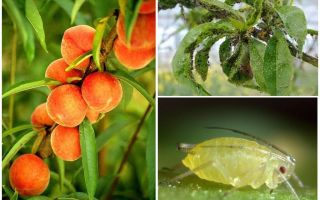 How to deal with aphids on peach folk and shopping means