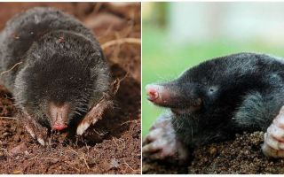 Does the mole have eyes
