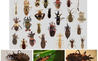 Bedbugs vectors of any diseases