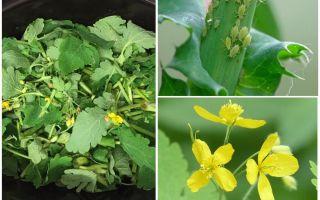 Celandine vs aphid