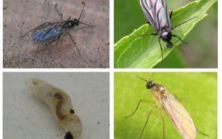 How to get rid of black flies in indoor plants and flower pots