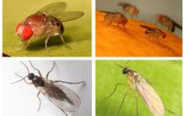 How to get rid of black flies in the kitchen