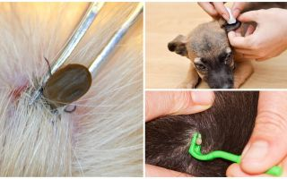 How to remove a tick from a dog at home