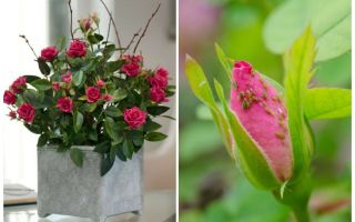 Aphids on roses - how to handle and how to get rid