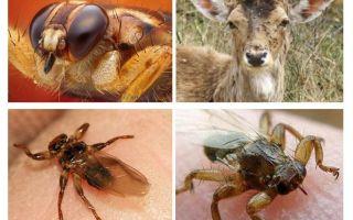 Moose lice