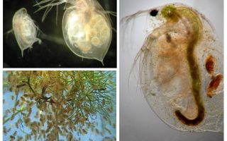 Water fleas in the aquarium