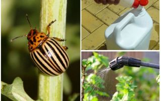 The best drugs from the Colorado potato beetle on potatoes