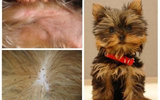 How to get a flea from a Yorkshire terrier