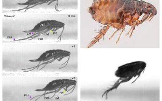 How a flea jumps