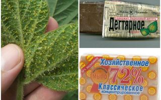 Tar and household soap from aphids on plants