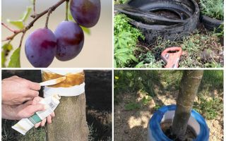 How to deal with ants on the plum