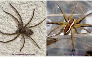 Australian hunter spider