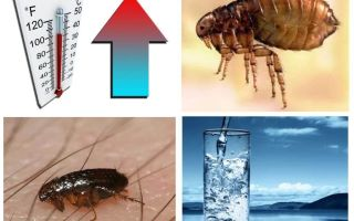 At what temperature do fleas and their eggs die
