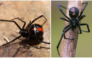 Description and photos of the black widow spider