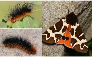 Description and photo caterpillar dipper Kaya