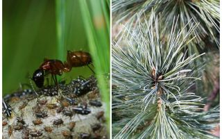 Aphids on the Christmas tree and how to deal with it