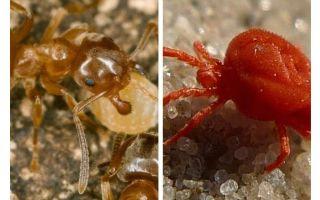 Ants against ticks
